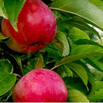 Яблуня Колоновидна Арбат