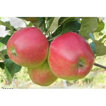 Яблуня Едера