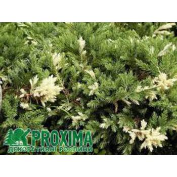 Ялівець китайський Juniperus chinensis 'Expansa Variegata'