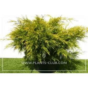 Ялівець китайський Juniperus chinensis 'Kuriwao Gold'