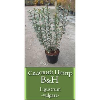 Бирючина звичайна  (Ligustrum vulgare)
