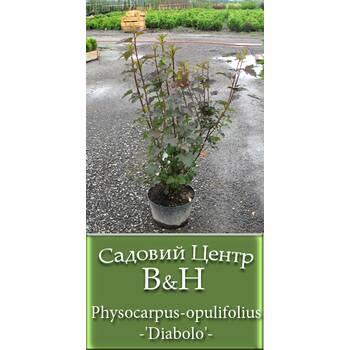 Пухироплідник калинолистий (Physocarpus opulifolius 'Diabolo')