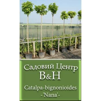 Катальпа бігнонієвидна (Catalpa bignonioides Nana)