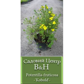 Перстач чагарниковий (Potentilla fruticosa Kobold)