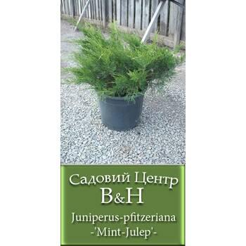 Ялівець китайський Мінт Джулеп (Juniperus pfitzeriana Mint Julep)