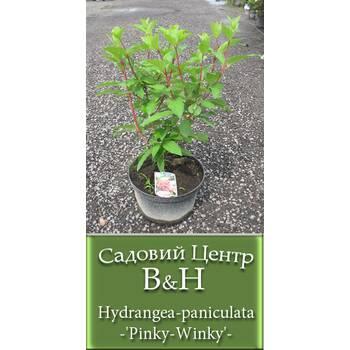 Гортензія мітлоподібна (Hydrangea paniculata Pinky Winky)