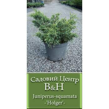 Ялівець лускатий Холгер (Juniperus squamata Holger)