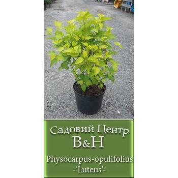 Пухироплідник калинолистий (Physocarpus opulifolius 'Luteus')