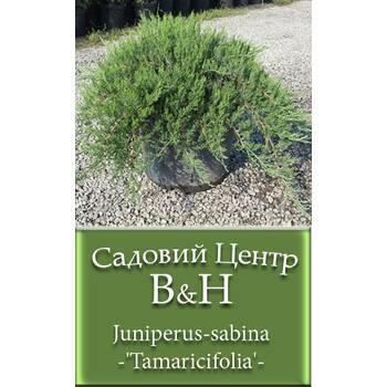 Ялівець козацький Тамарисцифолія (Juniperus sabina Tamaricifolia)