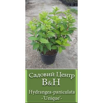 Гортензія мітлоподібна (Hydrangea paniculata Unique)