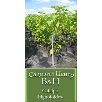 Катальпа бігнонієвидна (Catalpa bignoioides)