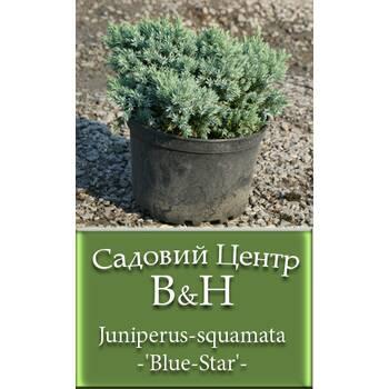Ялівець лускатий Блю Стар (Juniperus squamata Blue Star)
