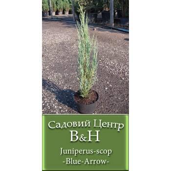 Ялівець скельний Блу Эрро (Juniperus scop Blue Arrow)