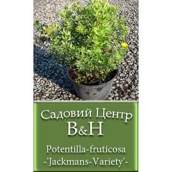 Перстач чагарниковий (Potentilla fruticosa Jackmans Variеty)
