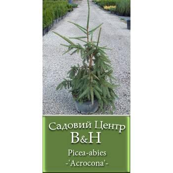 Ялина звичайна Акрокона (Picea abies Acrocona)