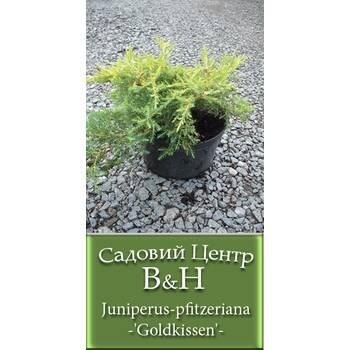 Ялівець середній Голдкіссен (Juniperus pfitzeriana Goldkissen)