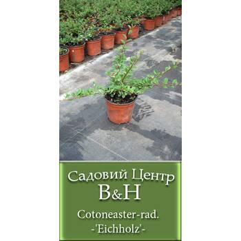 Кизильник даммера (Cotoneaster rad. Eichholz)