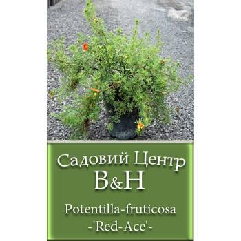 Перстач чагарниковий (Potentilla fruticosa Red Ace)