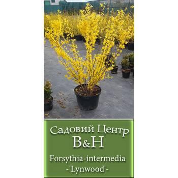 Форзиція проміжна (Forsythia intermedia Lynwood)