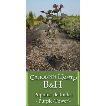 Тополя дельтоподібна (Populus deltoides 'Purple Tower')