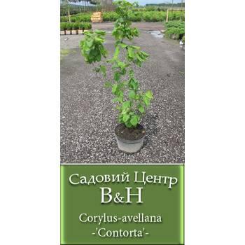 Ліщина звичайна (Corylus-avellana-'Contorta')