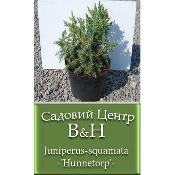 Ялівець лускатий Хуннеторп (Juniperus squamata Hunnetorp)