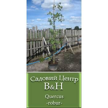 Дуб звичайний (Quercus robur)