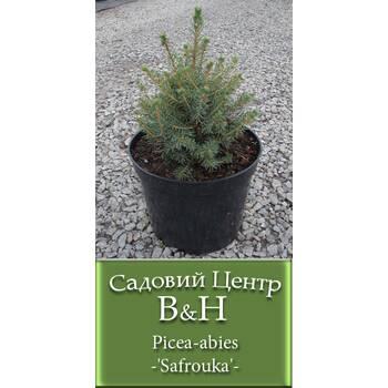 Ялина звичайна (Picea abies Safrouka)
