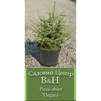 Ялина звичайна  (Picea abies Elegans)