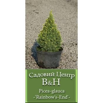 Ялина канадська Рейнбоуз Енд (Picea glauca Rainbow's End)