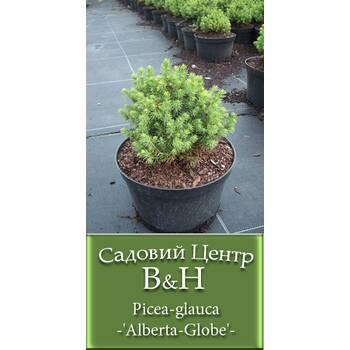 Ялина сиза (Picea glauca Alberta Globe)