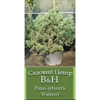 Сосна звичайна Ватерері (Pinus sylvestris Watereri)
