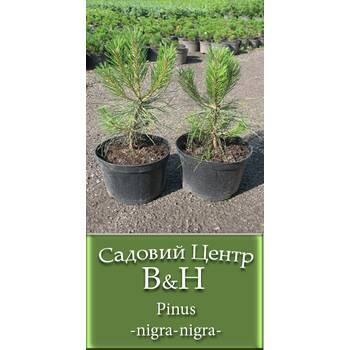 Чорна сосна (Pinus nigra nigra)