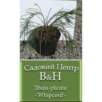 Туя складчаста (Thuja plicata Whipcord)