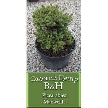 Ялина звичайна (Picea abies Maxwellii)