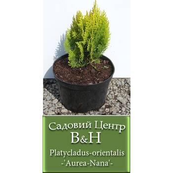 Туя східна Ауреа Нана (Platycladus orientalis Aurea Nana)