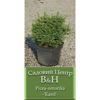 Ялина сербська Карел (Picea omorika Karel)