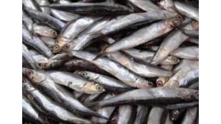 У Чорному морі вимерла майже вся риба?