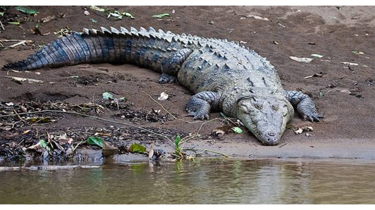 Повінь в Австралії спричинила нашестя крокодилів
