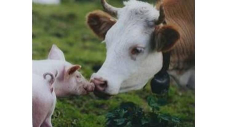 Українці стали позбуватись корів і все більше розводити свиней