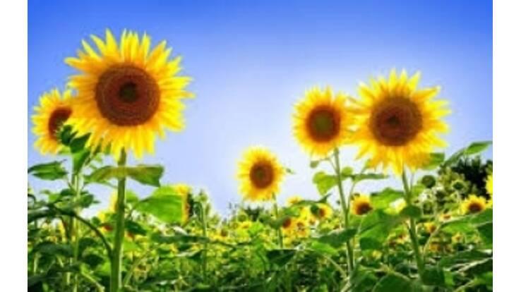Україна вдвічі збільшила експорт соняшника