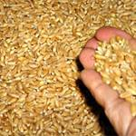120 thousand tons of Ukrainian wheat to be exported to Cairo