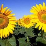 Фермерам заборонять сіяти соняшник