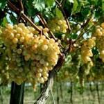 На Закарпатті пожежа знищила 100 гектарів виноградників