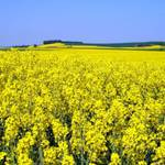 Україна експортувала рекордну кількість ріпаку