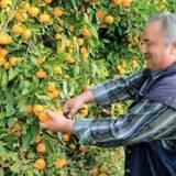 Работа по сбору апельсин в Испании для украинцев