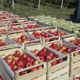 """Пропонуємо купити яблука оптом в """"Перлині Поділля"""" (Вінниця)"""
