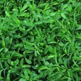 Хороша ціна насіння газонної трави у Агросвіті