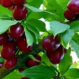 Продаж саджанців плодових дерев: кизил купити недорого Україна
