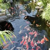 японський короп коі,коропи коі опт,корм для риб,німфеї,зоомагазин коропи коі